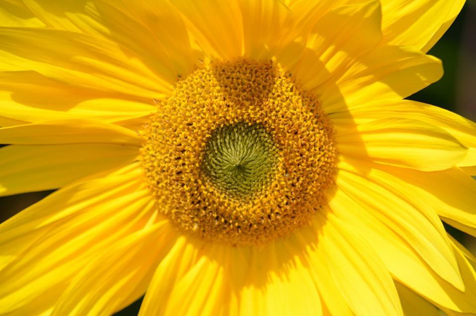 zonnebloem in de kruidentherapie, chakanaherb Marke