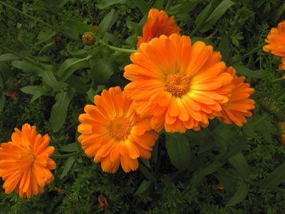 goudsbloem in de kruidentherapie, chakanaherb Marke